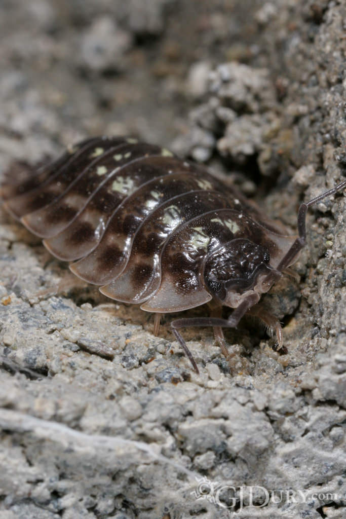 Woodlouse, Isopod