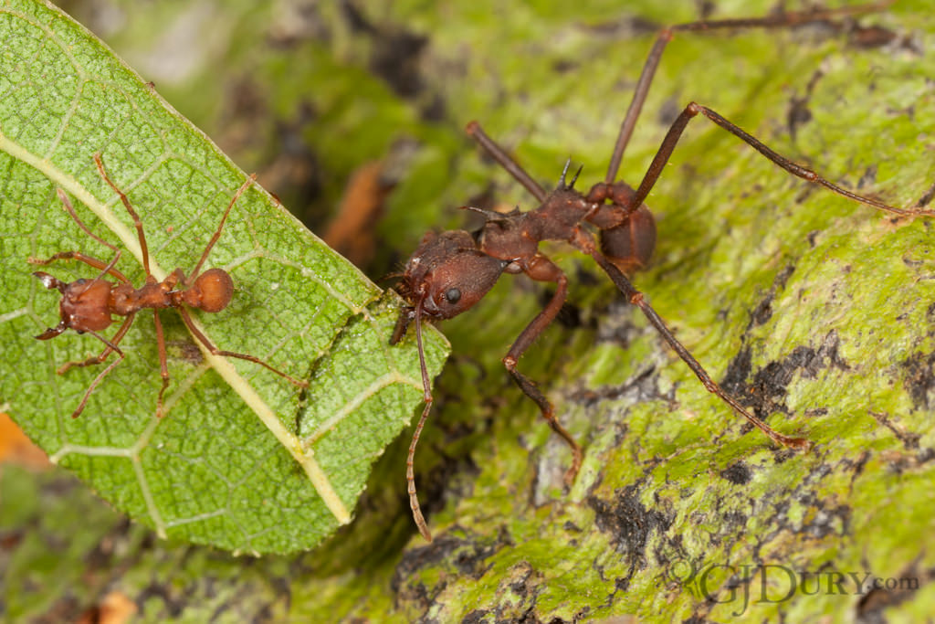 Leaf-cutter ants, Atta cephalotes, hitchhicker