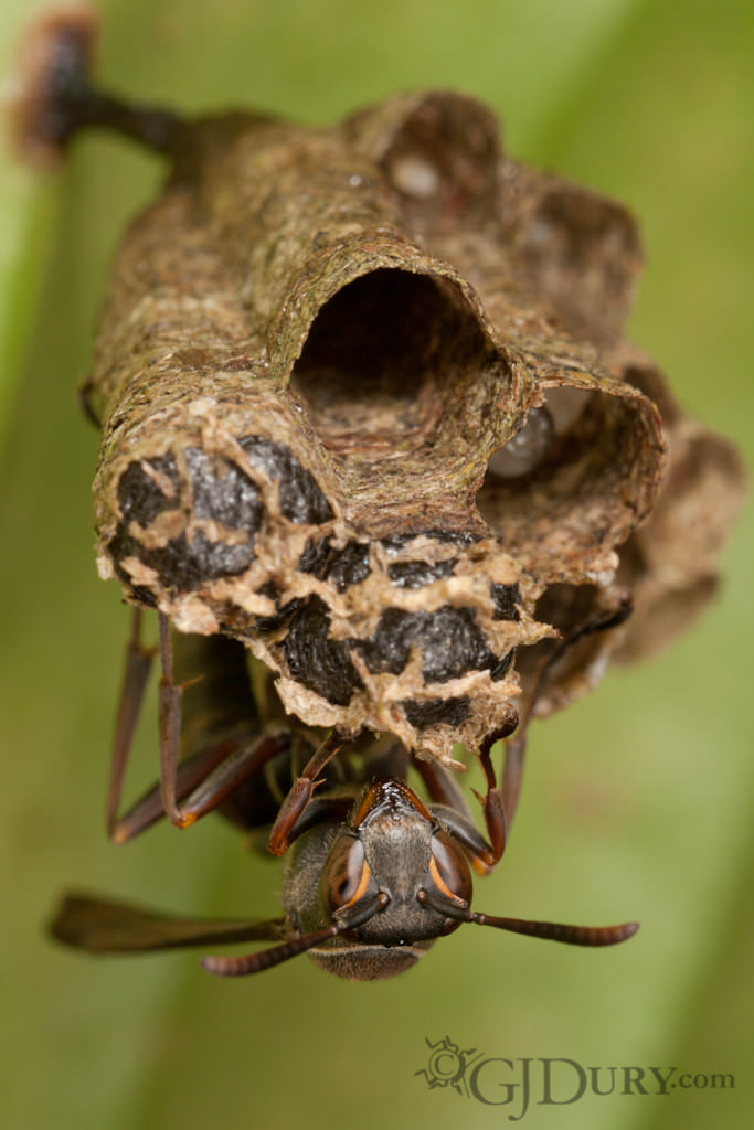 Wasp on nest with brood