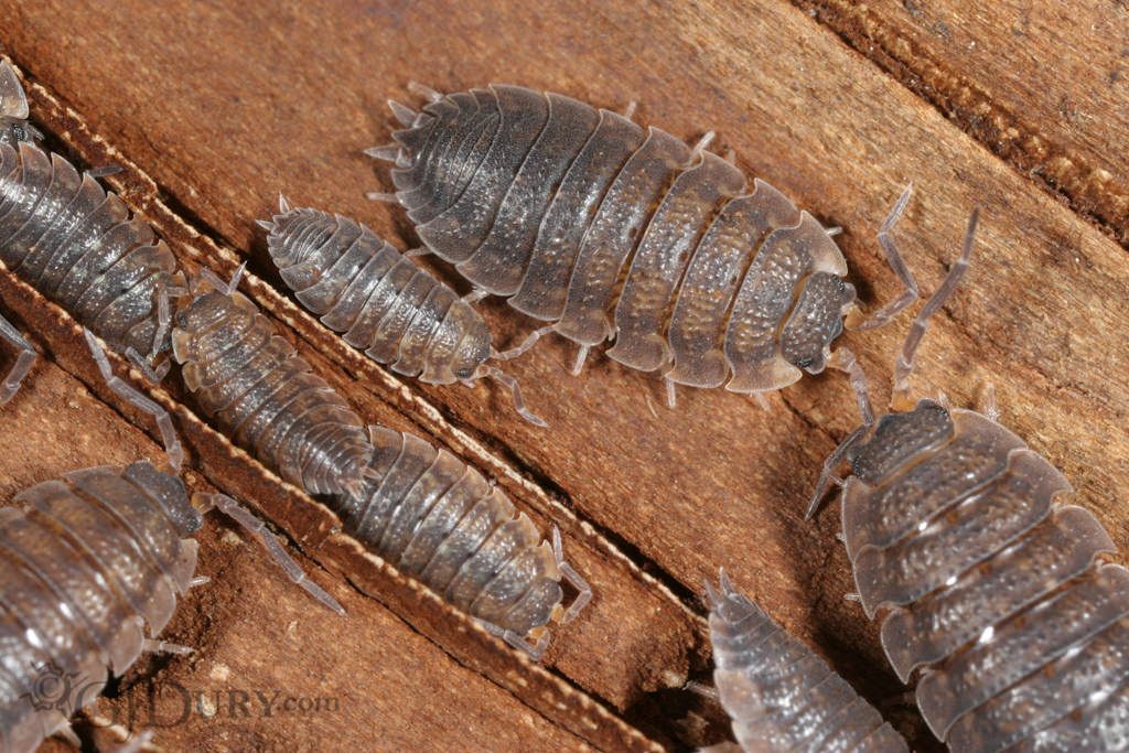 Woodlice, Isopods
